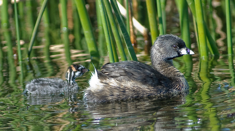 Pied-billed Grebe - Chick and parent on the way to thier nest