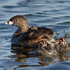 Pied-billed Grebe - Two on-board and 2 trying