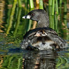 Pied-billed Grebe - Along for the ride