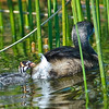 Pied-billed Grebe - We are getting closer
