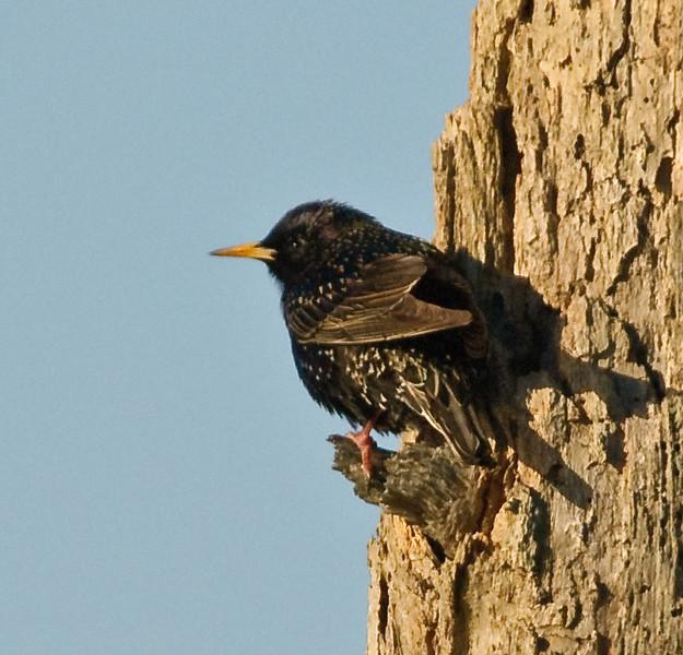 European Starling - Just hanging around