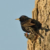 European Starling - Just hanging around