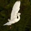 Snowy Egret,