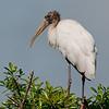 Juvenile Wood Stork