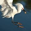 Snowy Egret - Hot Dog!