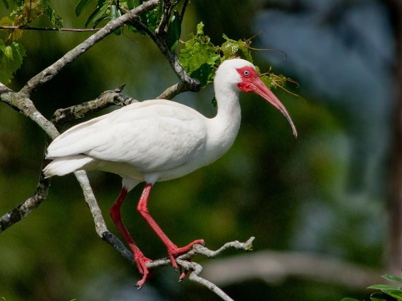 White Ibis, Breeding