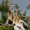 Adult Female and Juvenile Anhingas - I can't hear you!