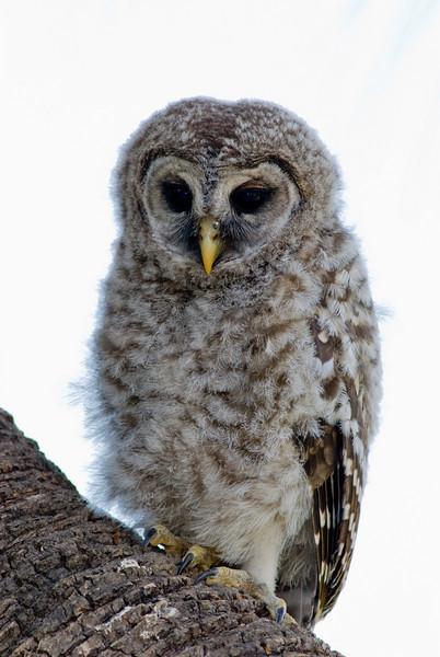 Juvenile Barred Owl