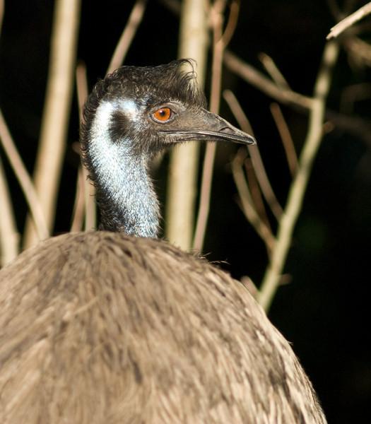 Emu - Big body little head
