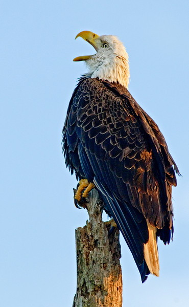 Bald Eagle - Big yawn