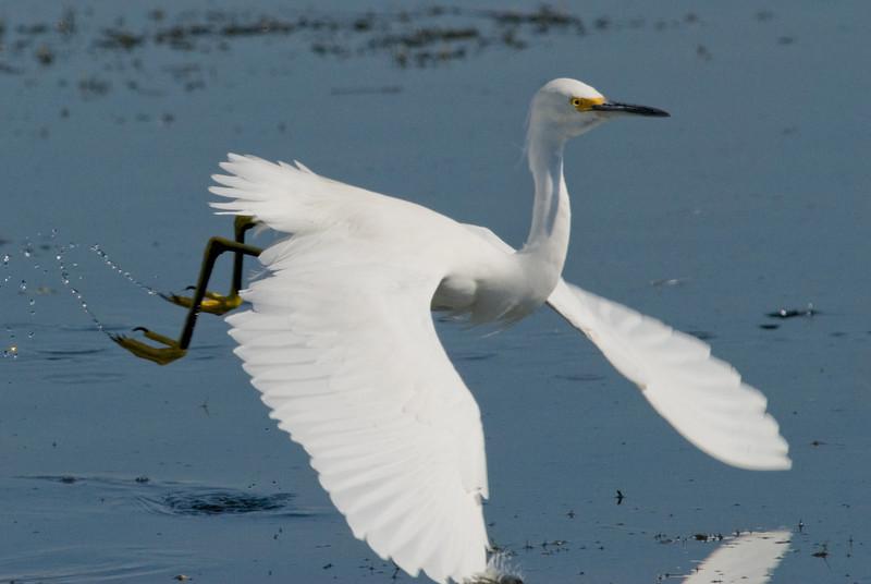 Snowy Egret - In flight