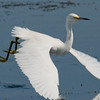 Snowy Egret - In flight