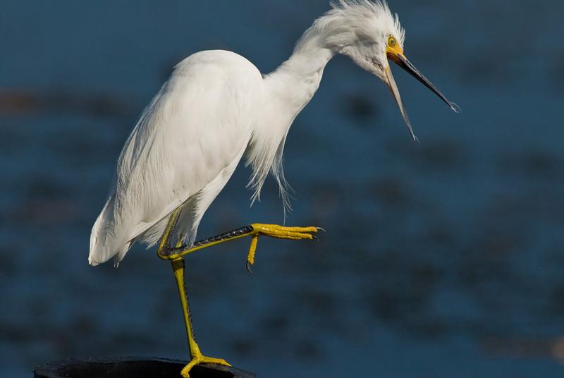 Snowy Egret - Seems upset about something