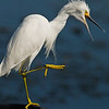 Snowy Egret - Seems upset about something