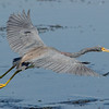 Great Blue Heron - In Flight