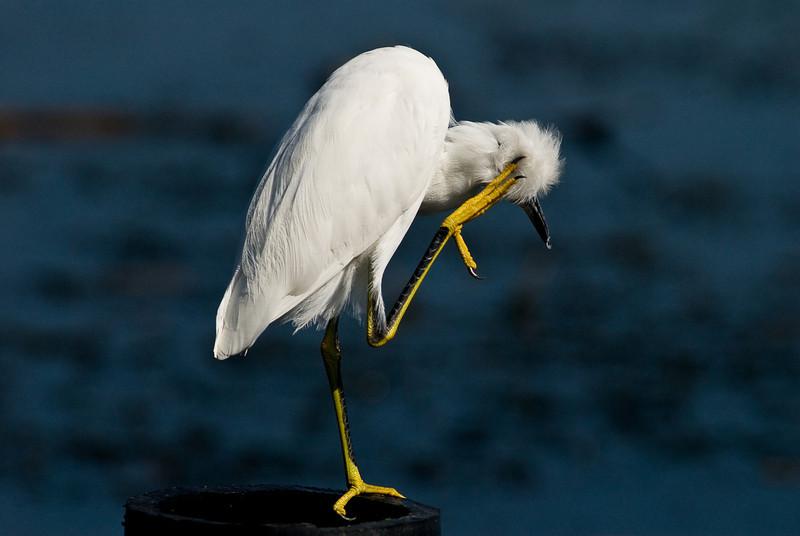 Snowy Egret - Got an Itch