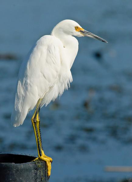 Snowy Egret - Portrait