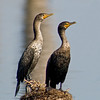 Double-crested Cormorant - The immature is on the left
