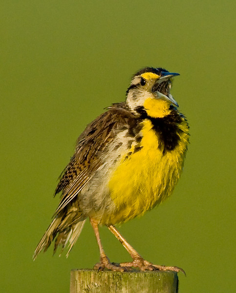 Eastern Meadowlark - Speak-up!
