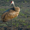 Sandhill Crane Head Shot