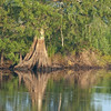 Cypress Tree Reflection - This was taken off of Rt 50 on the St John's River