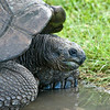 Lion Country Safari - Loxahatchee, FL - Aldabra Tortoise