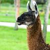 Lion Country Safari - Loxahatchee, FL - Llama. Nice looking teeth!