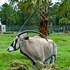 Lion Country Safari - Loxahatchee, FL - Gemsbok