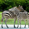 Lion Country Safari - Loxahatchee, FL - Grant's Zebra, How about that affection going on!