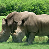 Lion Country Safari - Loxahatchee, FL - Side by Side Southern White Rhinoceros