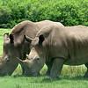 Lion Country Safari - Loxahatchee, FL - Side by Side Southern White Rhinoceros