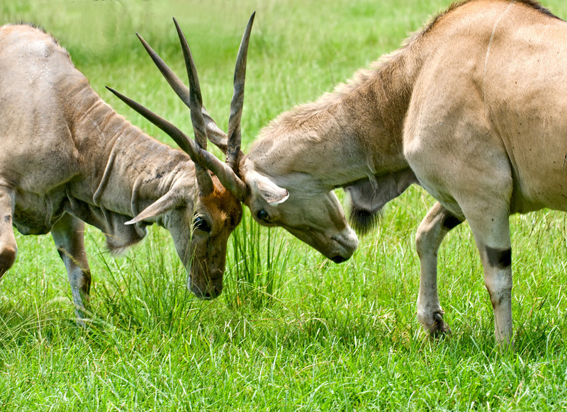 Lion Country Safari - Loxahatchee, FL - Waterblicks in a little friendly combat