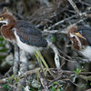 Some Juvenile Tricolored Herons