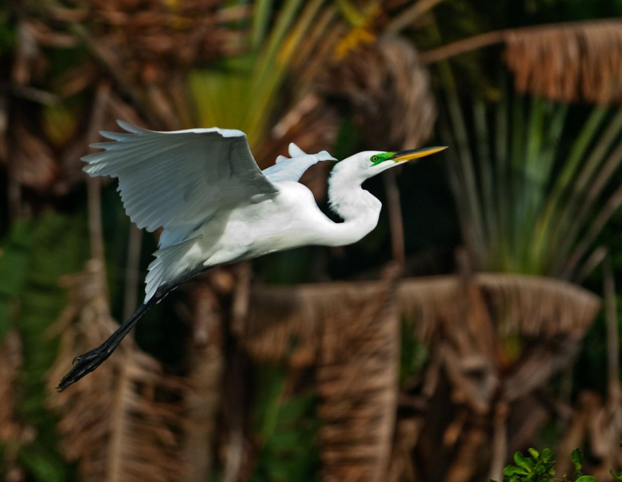 Adult breeding Great Egret in flight