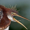 Tricolored Heron - I'm Having a bad hair day!