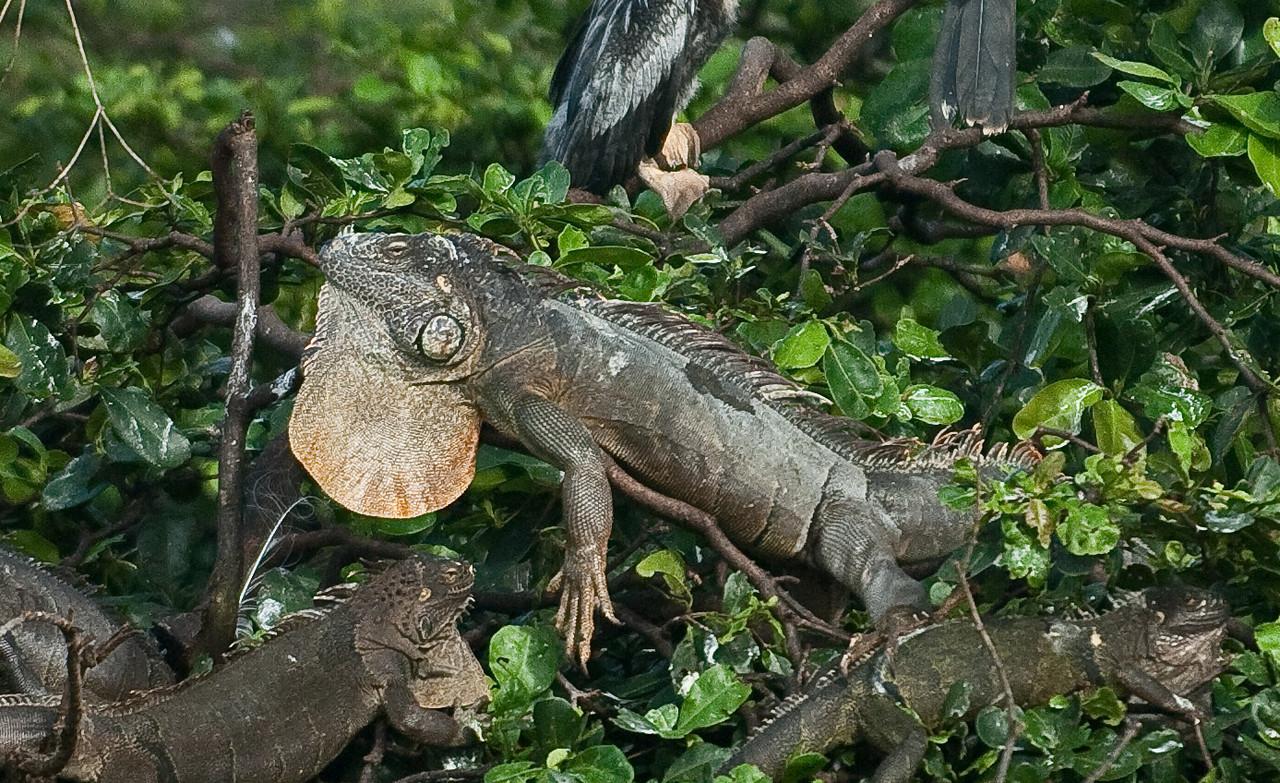 Green Iguana Family