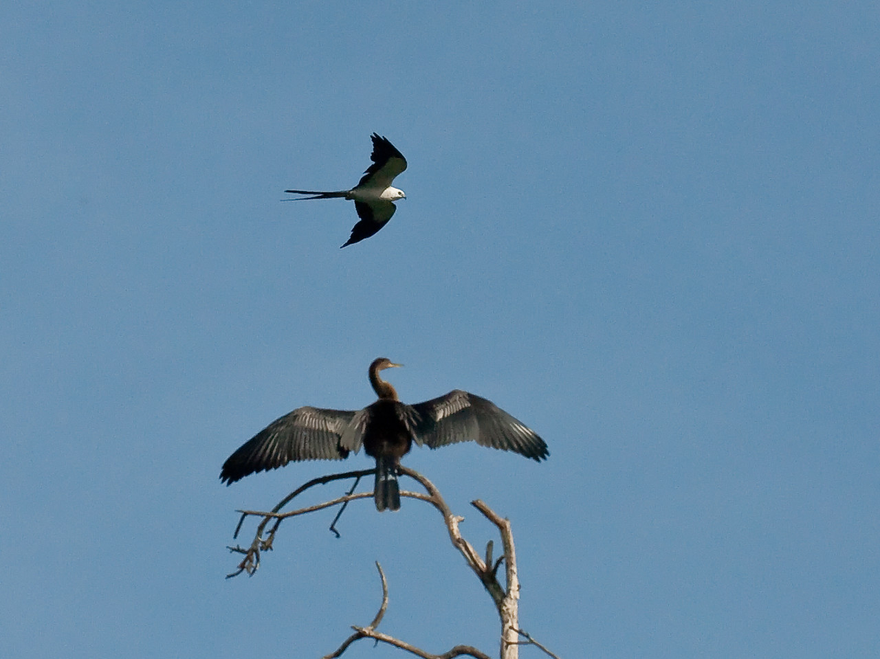 Swallow-Tailed Kite in flight and Anhinga just sunning itself
