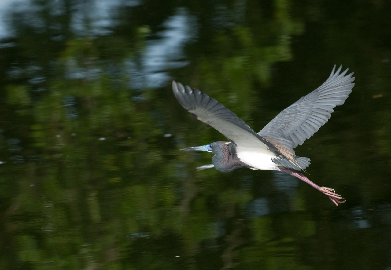 Adult  breeding Tricolored Heron in flight