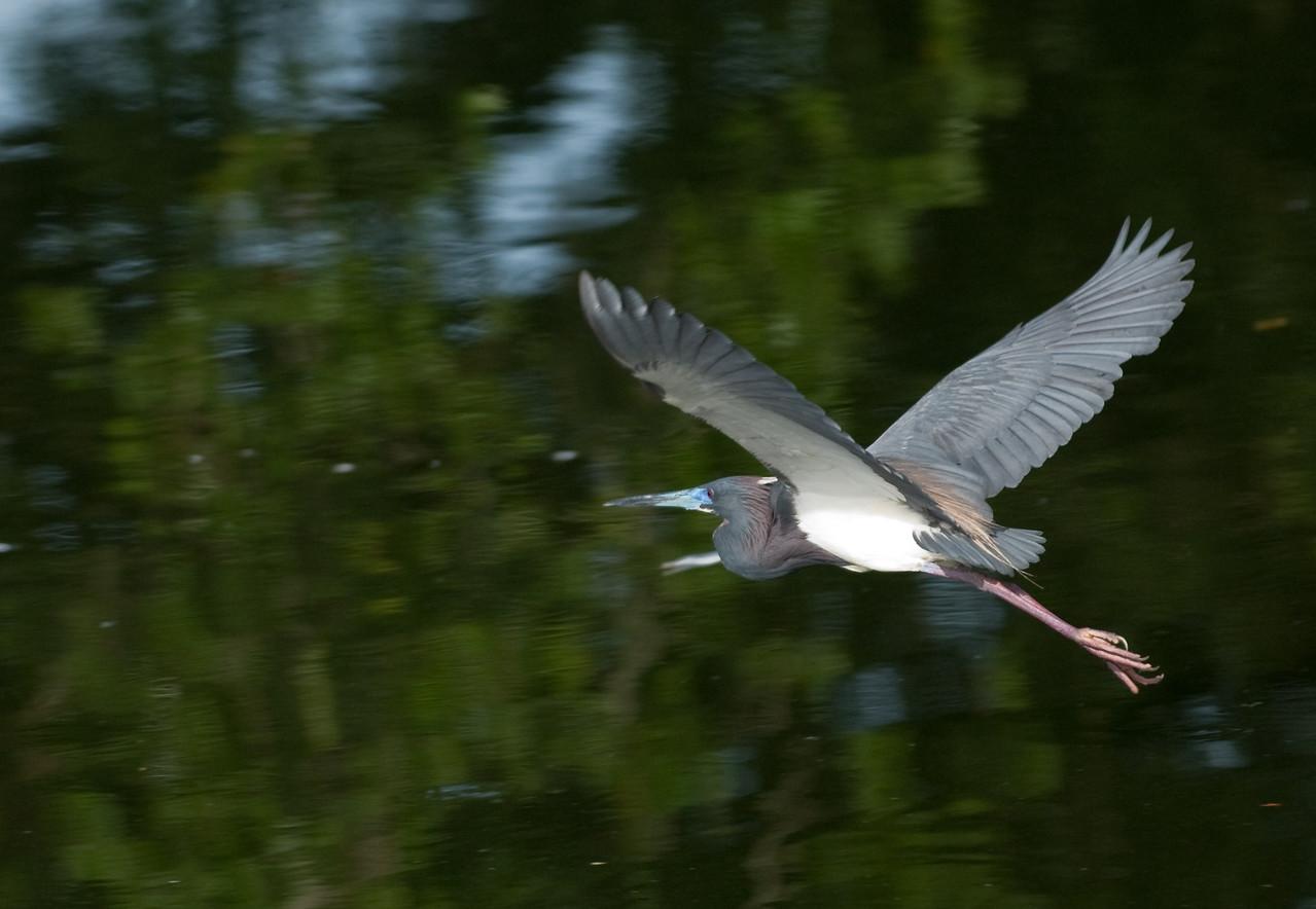 Adult  breeding Tricolored Heron in flight