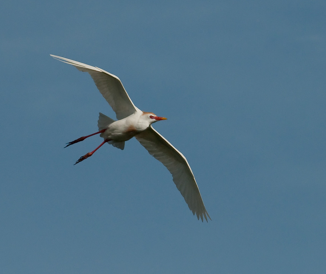 Adult breeding Cattle Egret In flight