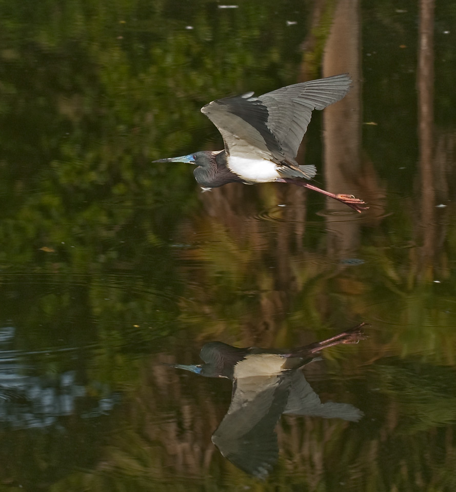 Adult breeding Tricolored Heron in flight with its reflection