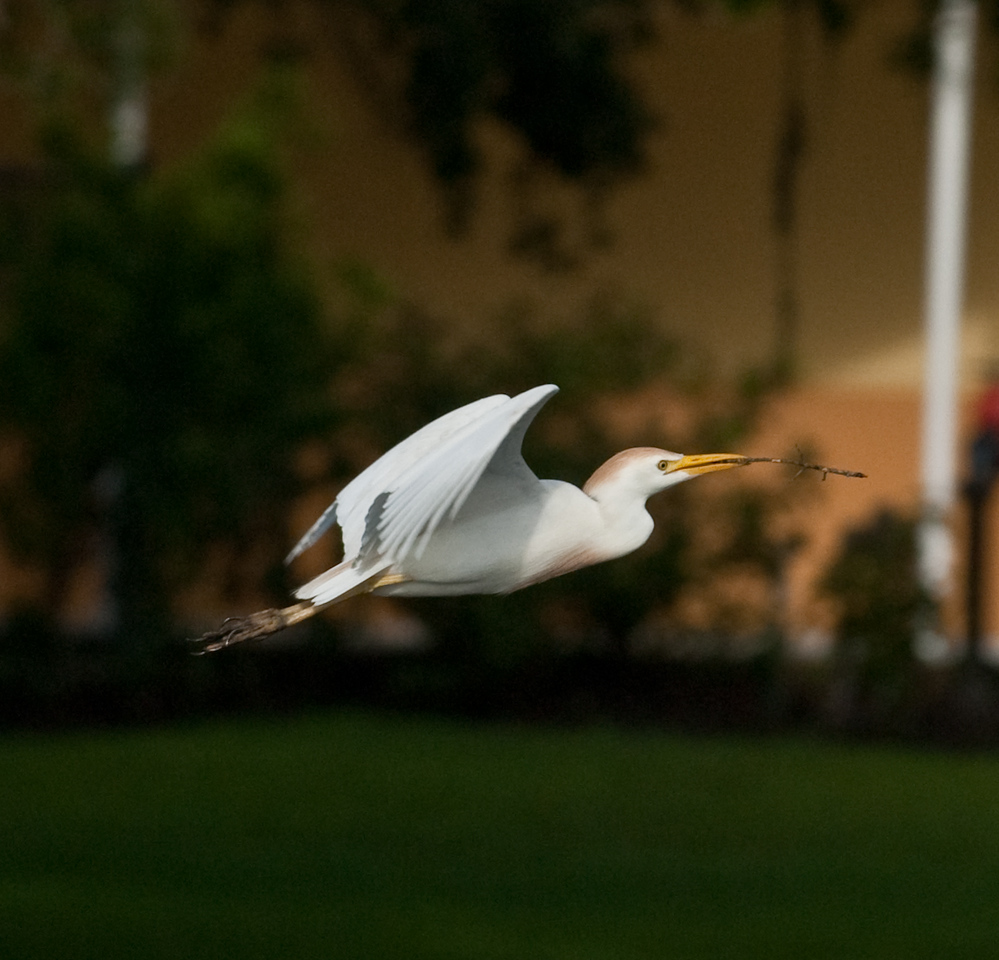 Cattle Egret carrying material back to its nest.
