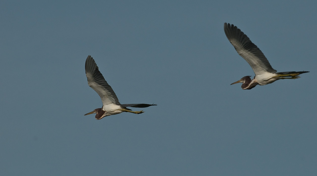 A couple of Tricolored Heron in flight