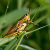 Southeastern Lubber Grasshopper with my 500mm lens