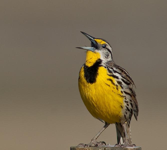 Eastern Meadowlark - I'm just singing away