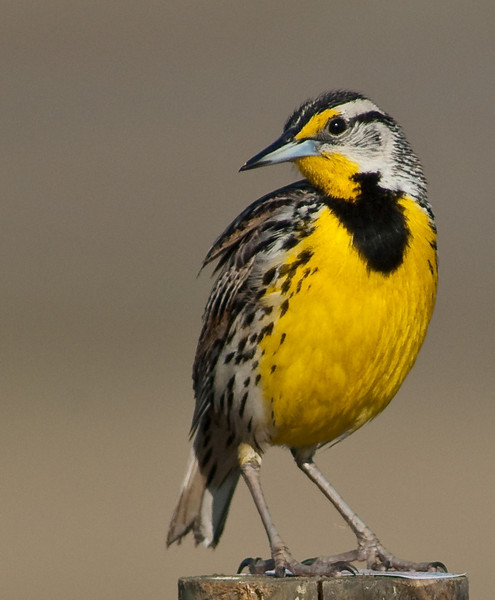 Eastern Meadowlark - Who is  over there?