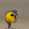 Eastern Meadowlark - A little scratch going on
