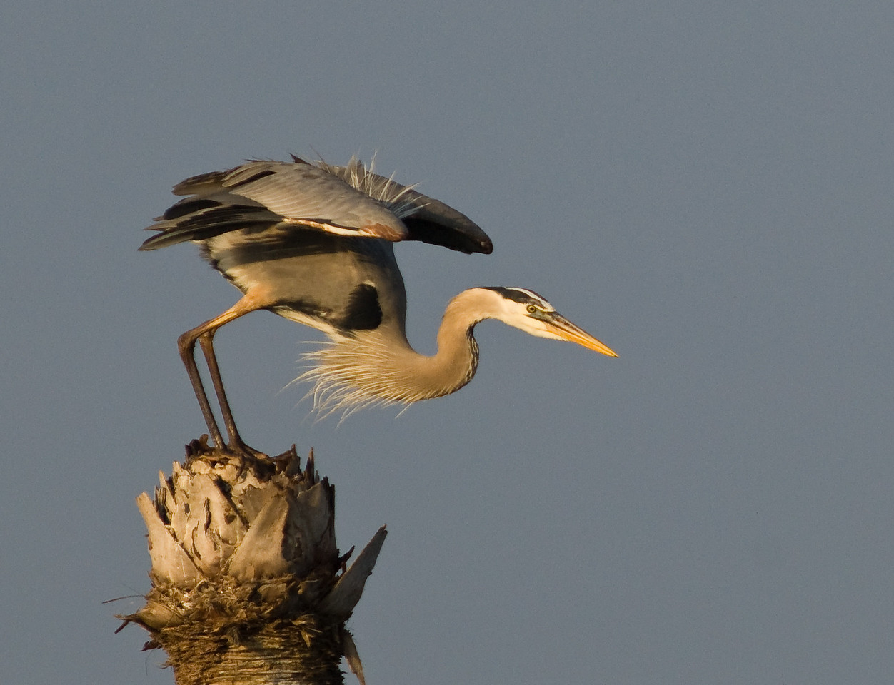 Great Blue Heron - On your Mark