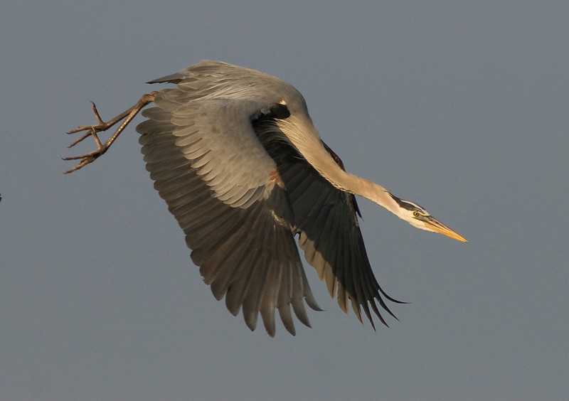 Great Blue Heron - Go
