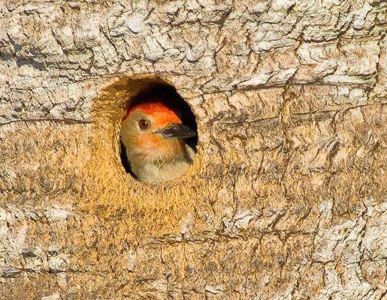 Red-bellied Woodpecker - Who is out there?